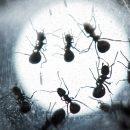 Новые виды муравьев назвали вчесть драконов из«Игры престолов»