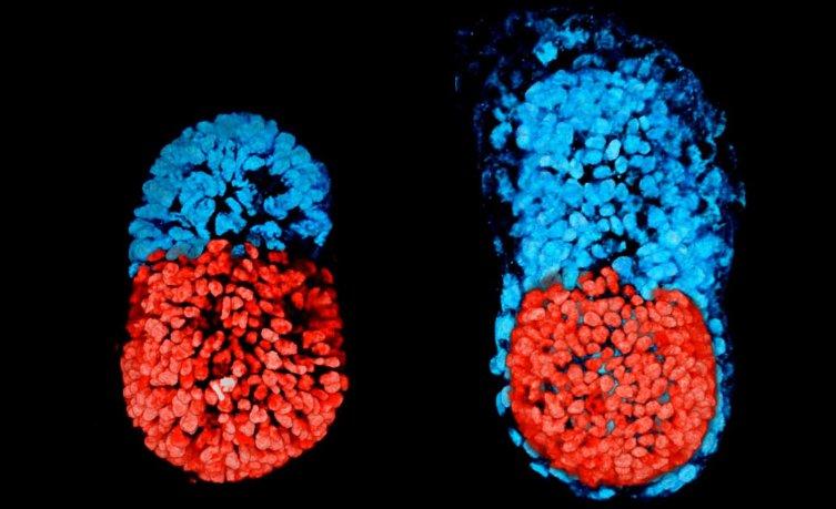 Учёным удалось впервые в мире вырастить искусственный эмбрион