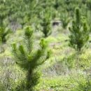К сожалению, невозможно посадить больше деревьев, чтобы компенсировать добычу природных ресурсов