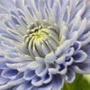 Генная инженерия позволяет создавать неестественно голубые цветы