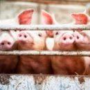 Исследователи пытаются сделать органы свиней более подходящими для трансплантации