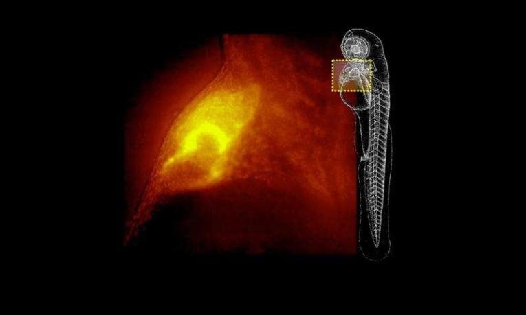 Новый микроскоп способен быстро получать трёхмерные образы живых организмов