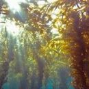 Источником энергии будущего будет не солнце, а морские водоросли