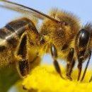 Чтобы помочь пчелам, надо избавиться от применения пестицидов в садах