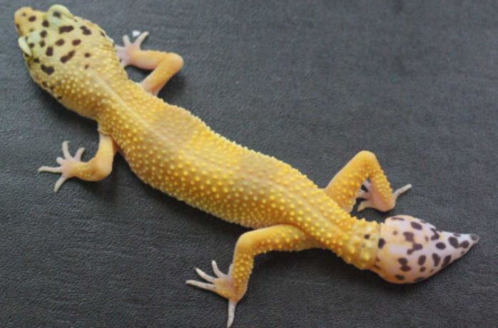 Рептилии, обладающие способностью к регенерации, научат исследователей исцелять травмы позвоночника у людей
