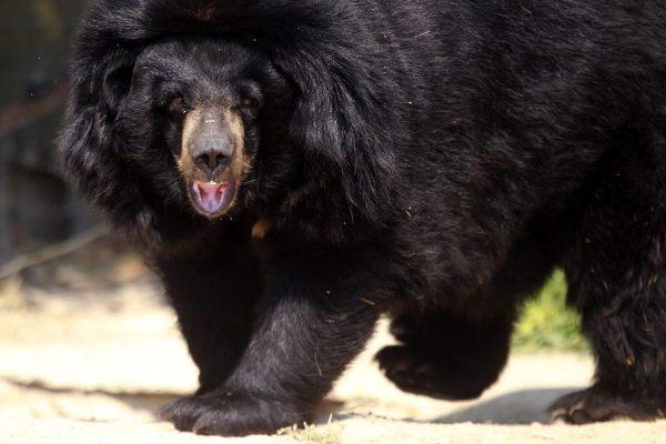 Исследование: скорее всего, за снежного человека принимали чёрных или бурых медведей