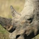 С целью сокращения браконьерства разработан 3D-рог носорога