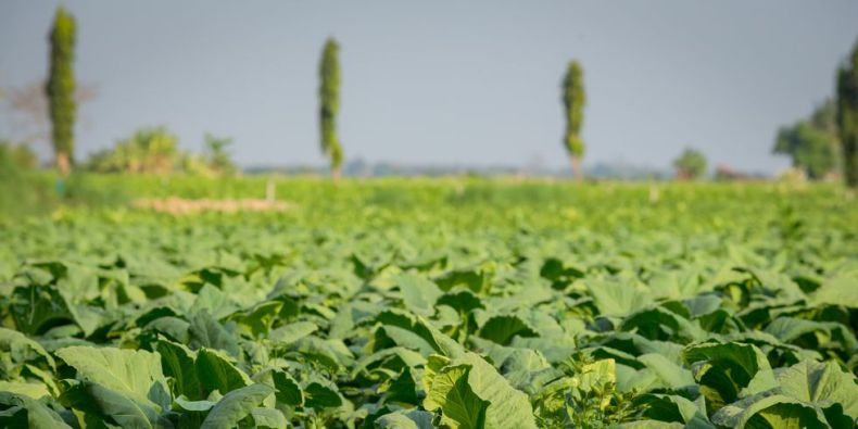 Американским фермерам стало выгодно превращать свои табачные фермы в солнечные электростанции