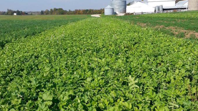 Редис, используемый как покровная культура, поглощает азот из почвы