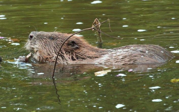 Бобры помогают очищать реки, возводя плотины