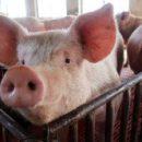 Учёные опасаются нового смертельного свиного вируса, который может передаваться людям