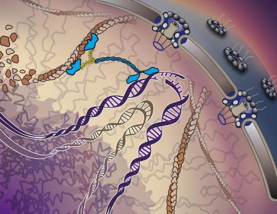 Ученые обнаружили скорую помощь и реанимационное отделение для ДНК