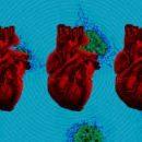 Врачи научились восстанавливать неправильно работающие сердца новорожденных с помощью митохондрий