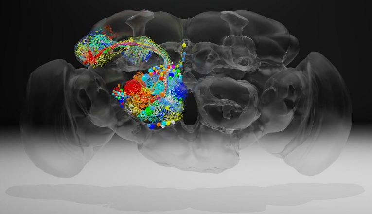 Ученым удалось получить полное изображение мозга плодовой мушки в высоком разрешении