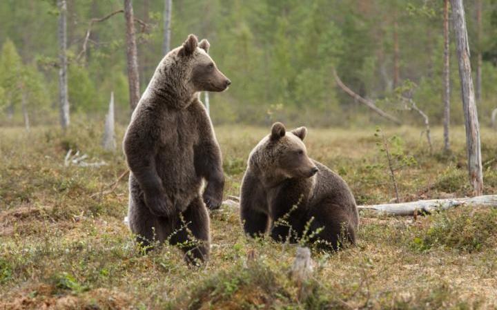 Учёные используют слюну медведя для быстрого теста на присутствие антибиотиков