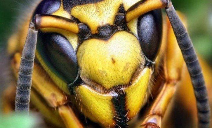Берегите ос — они так же важны, как и пчёлы