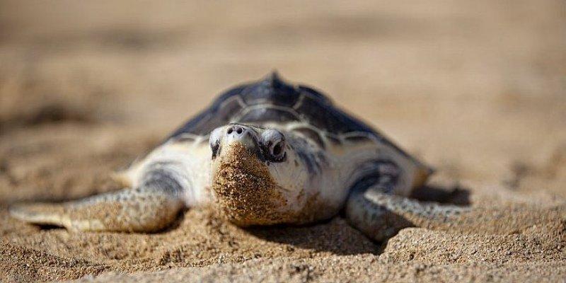 Распространение микропластика влияет на соотношение в родившемся потомстве морских черепах самцов и самок