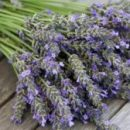 Учёные обнаружили, что аромат лаванды обладает успокаивающим эффектом