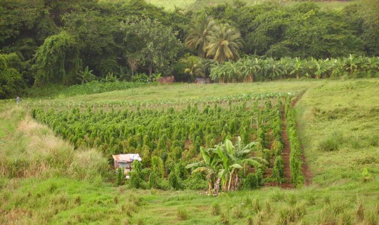 Разработана мгновенная диагностика вирусов у растений