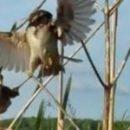 Учёные создали воробья-робота из тела мёртвой птицы