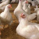 Яйца генетически модифицированных кур могут использовать для создания дешёвых лекарств от рака